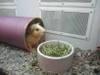 Pet_guinea_pig1