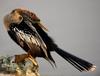 Hondaclassic_anhinga_snakebird