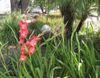 Entrance_gladiolus_s