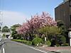 Park5_yaezakura_4_11
