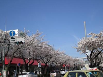 Sakura_mainstreet1b