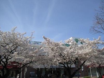 Sakura_mainstreet2