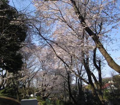 Sakura_park1