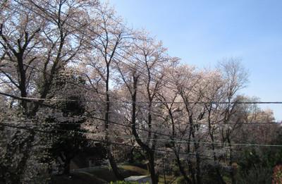 Sakura_park1_fromhouse
