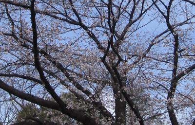 Sakura_picnicpark