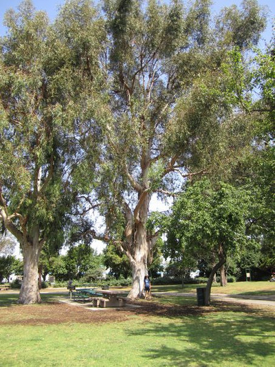 Park_7_eucalyptus