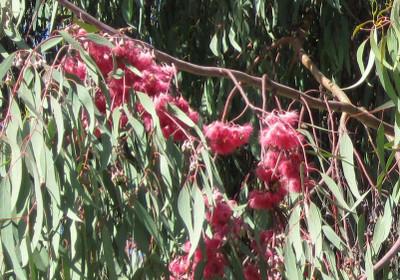 5thhole_eucalyptus_2